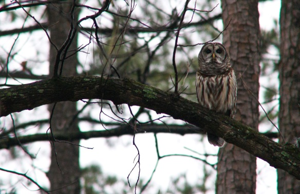 Our young owl friend in the back yard.
