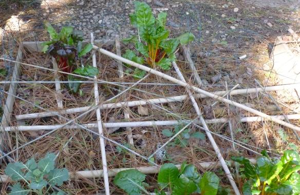 carrots, kale chard