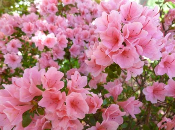 More azaleas from my garden this spring.