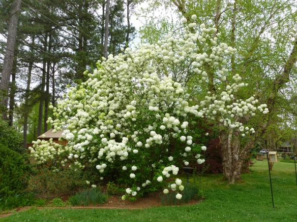 The tremendous snowball bush in my mother's yard.