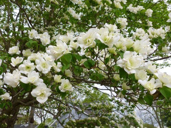 A magnificent double blossomed dogwood tree from a garden tour I attended with my mom.
